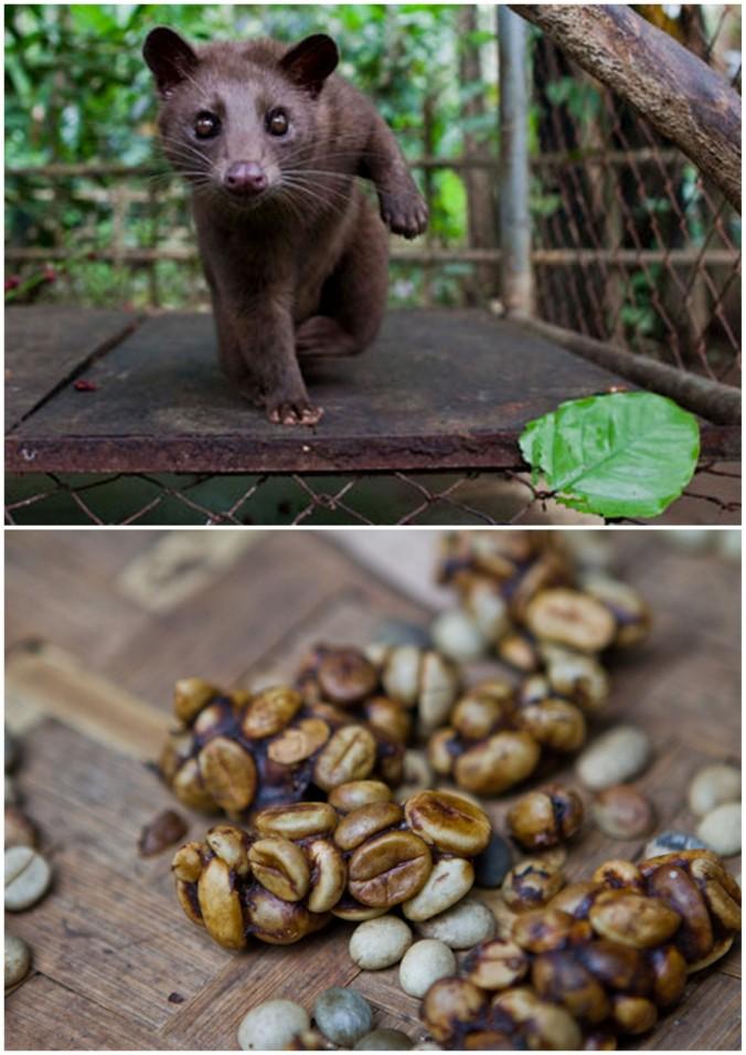 civet droppings coffee in bali