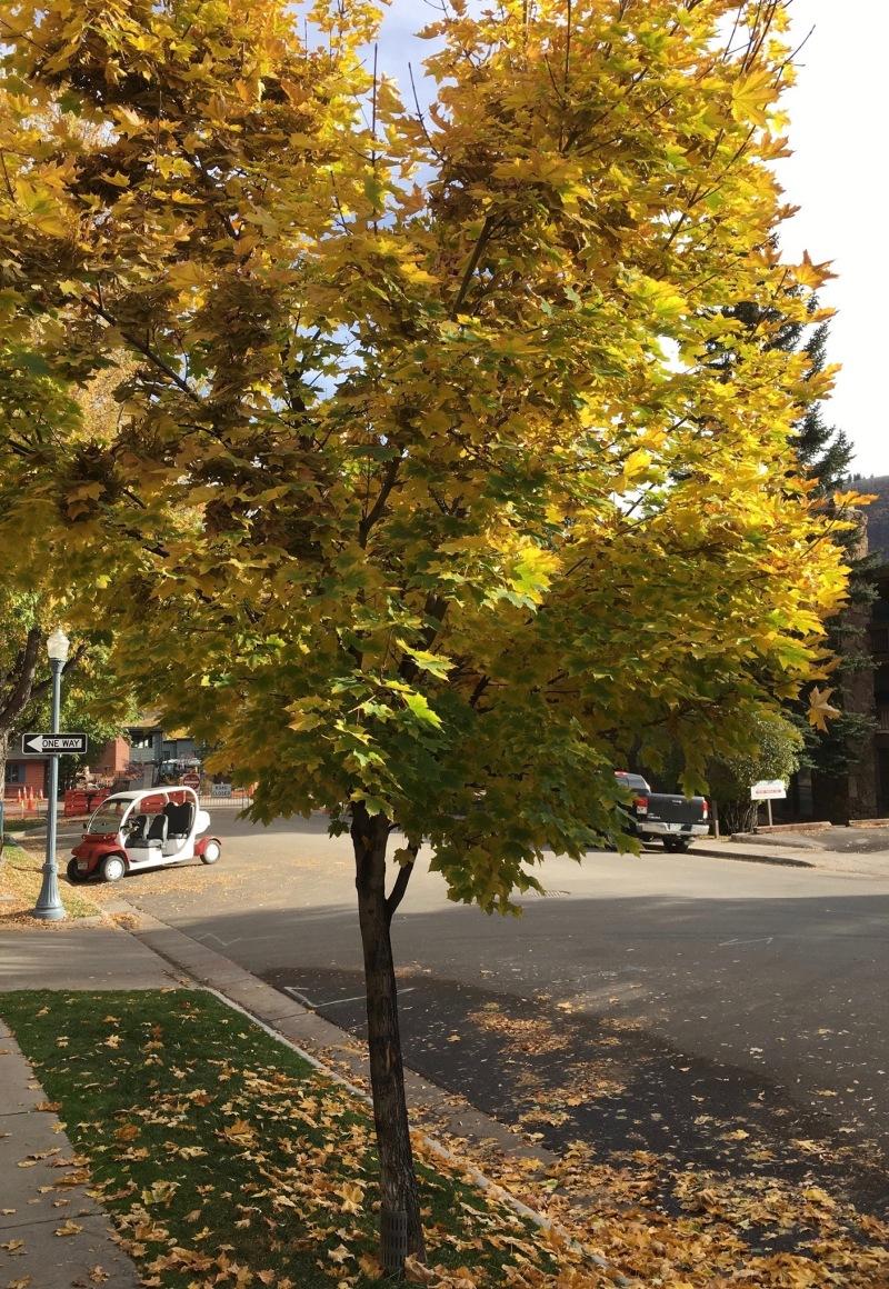 Maple Trees inAspen