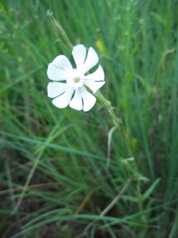 psychoactive-page-pic-silene-species
